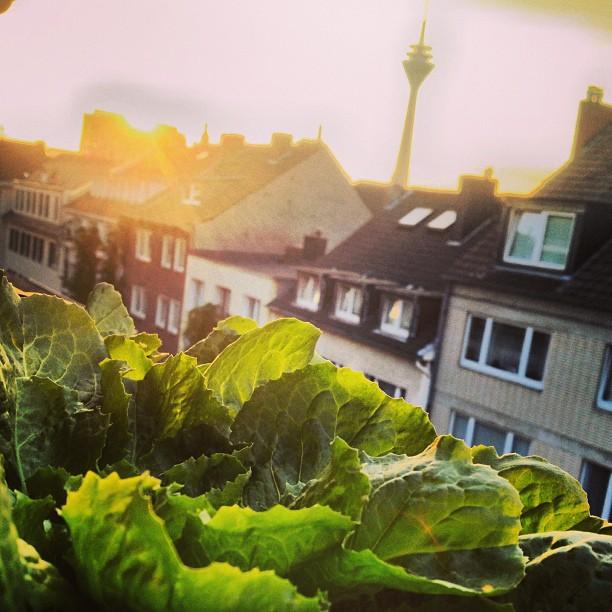 salat auf der fensterbank anbauen bester schutz gegen schnecken bilkorama. Black Bedroom Furniture Sets. Home Design Ideas