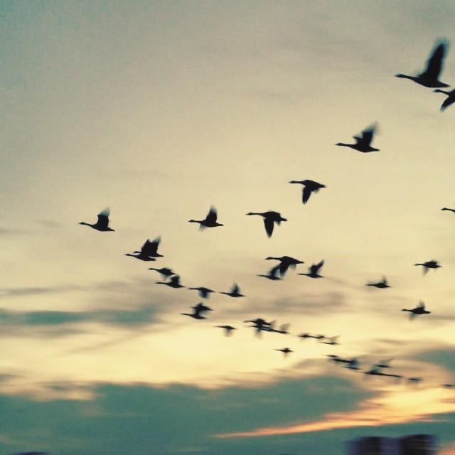 Skandinavische Wildgänse im Formationsflug – oder doch eher Tiefflug ;-)