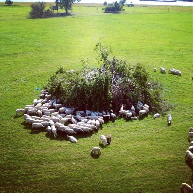 Die Schafe haben etwas neues entdeckt - 'Woodys Diner' oder so... ;-)