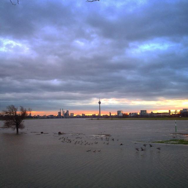 Skandinavische Wildgänse planschen auf der überfluteten Rheinwiese…