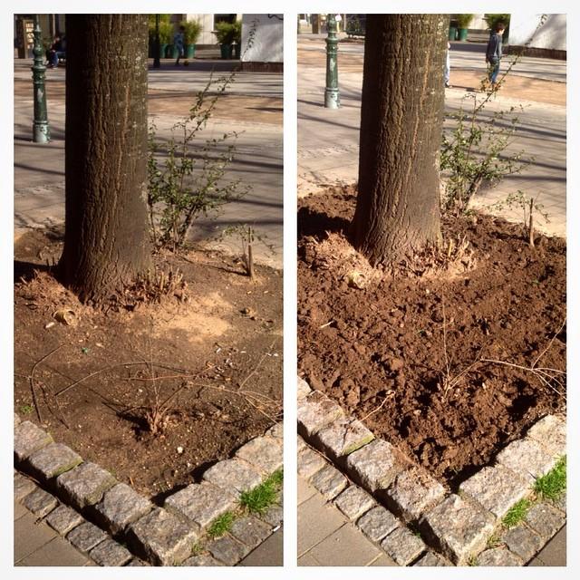 Haben heute Mittag übrigens eine stark verdichtete Baumscheibe in eine potentielle Bienenweide (also die muss natürlich noch keinen & wachsen) verwandelt :-)