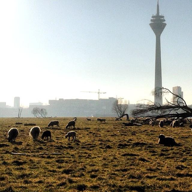 Weidende Schafe in der Stadt. I