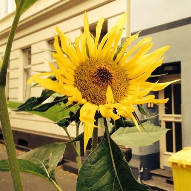 Sonnenblumen als Dekoelement und Winterfutter