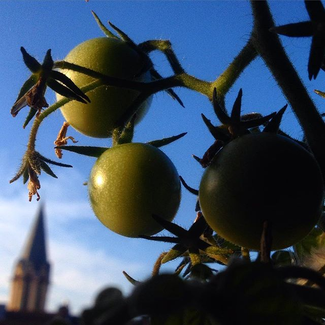 Noch zwei, drei sonnige Tage und unsere Nachzügler-Tomaten werden auch noch was :-)