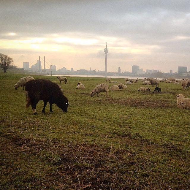Ist schon schön chillig an der Schafsweide am Rhein :-)