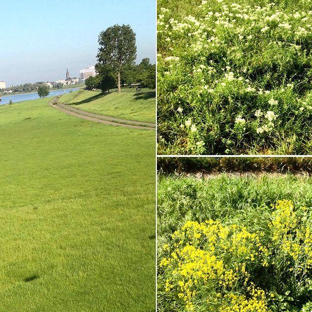 Warum gibt es eigentlich kein Wildblumenmeer am Rheinufer?