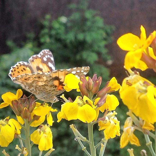 Also den Bienen und Schmetterlingen gefällt der Balkon :-)