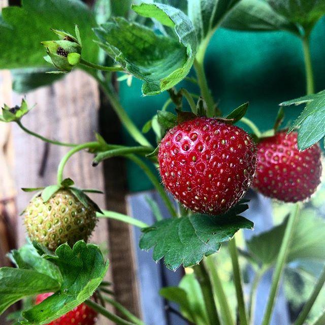 Der tägliche Blick über die eigene 'Erdbeer Hazienda' auf'm Balkon :-)