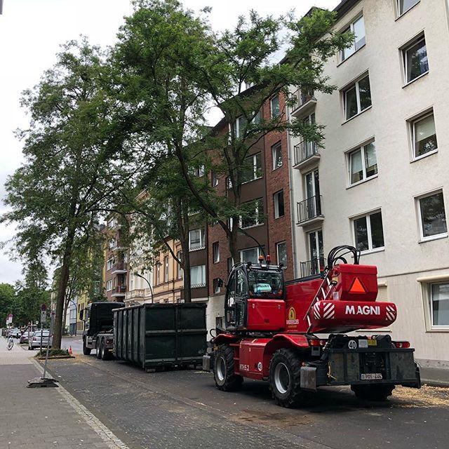 Und da werden die nächsten Bäume im #düsseldorf gefällt :-/ Diese Strassenbäume auf der Florastraße gehören zu den 380 Bäumen die in den kommenden Woche gefällt werden - sie stehen zu schräg (komisch haben aber #Ela überstanden) und haben angeblich eine ausgedünnte Krone (sieht man ja auf Foto - nicht) oder einen Pilzbefall... Angeblich wird es auch Ersatzpflanzungen geben - sorry das ich da nur lachen kann - denn alleine auf der Florastraße sind immer noch fünf Baumscheiben ohne Bepflanzung (wurden natürlich hergerichtet und wuchern wieder zu)... Hoffe das die Arbeiter aus Belgien wieder nur defektes Gerät haben und nicht fällen können! #baum #baumfehlt #baumfehlt_dus #düsseldorf