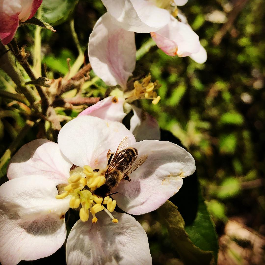 Unser Dank geht an die vielen kleinen geflügelten Helferinnen bei uns im Garten :-) Die Stachelbeeren sehen schon sehr gut aus und an Kirsche und Apfel summt & brummt es aktuell – hoffen wir mal auf einen nicht zu heißen Sommer